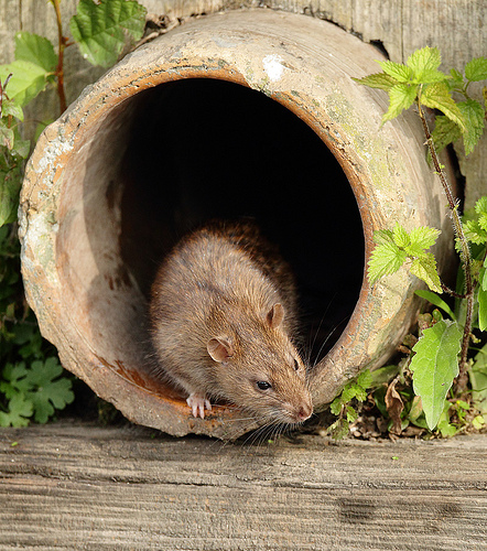 Are pipes a potential home for rats